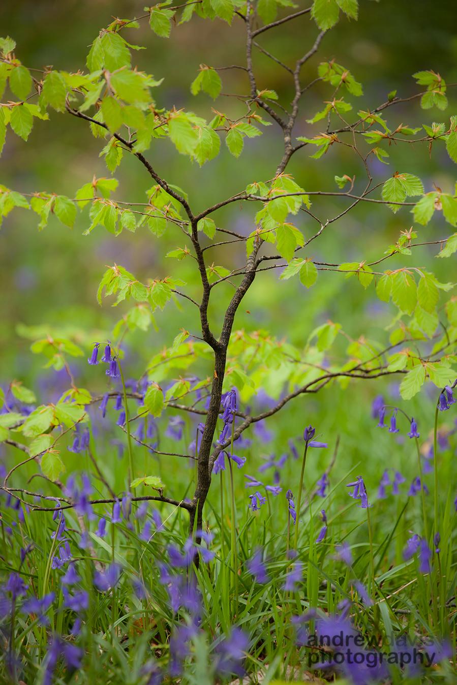 Beech sapling, Neroche Forest, Blackdown Hills, Somerset