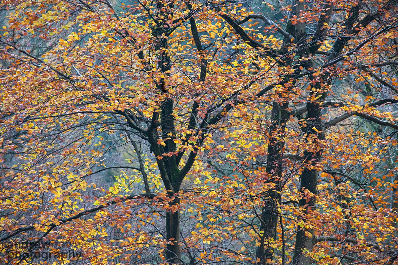 Autumn Beech, Triscombe, Qauntocks, Somerset