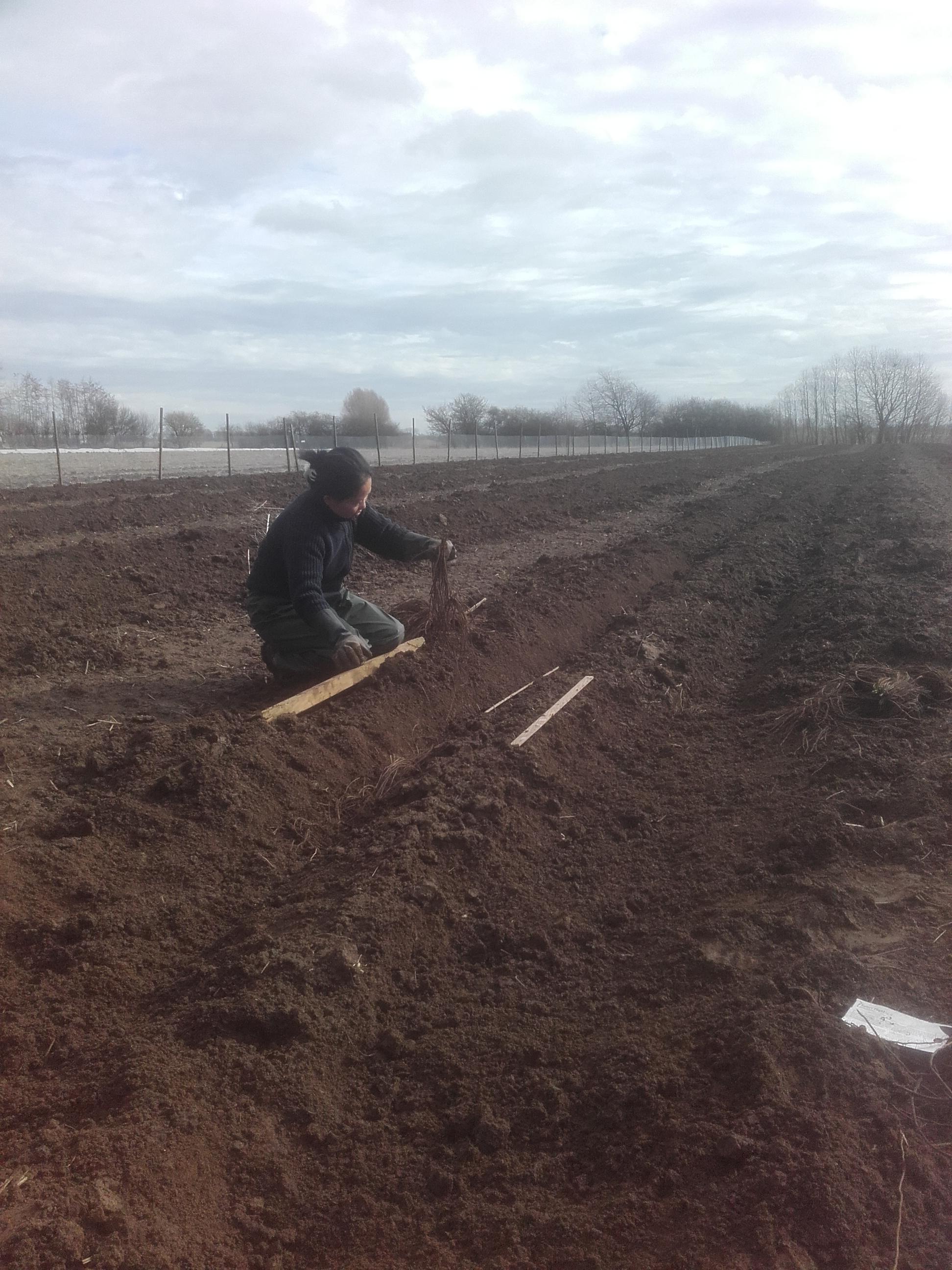 asperges planten bommelerwaard