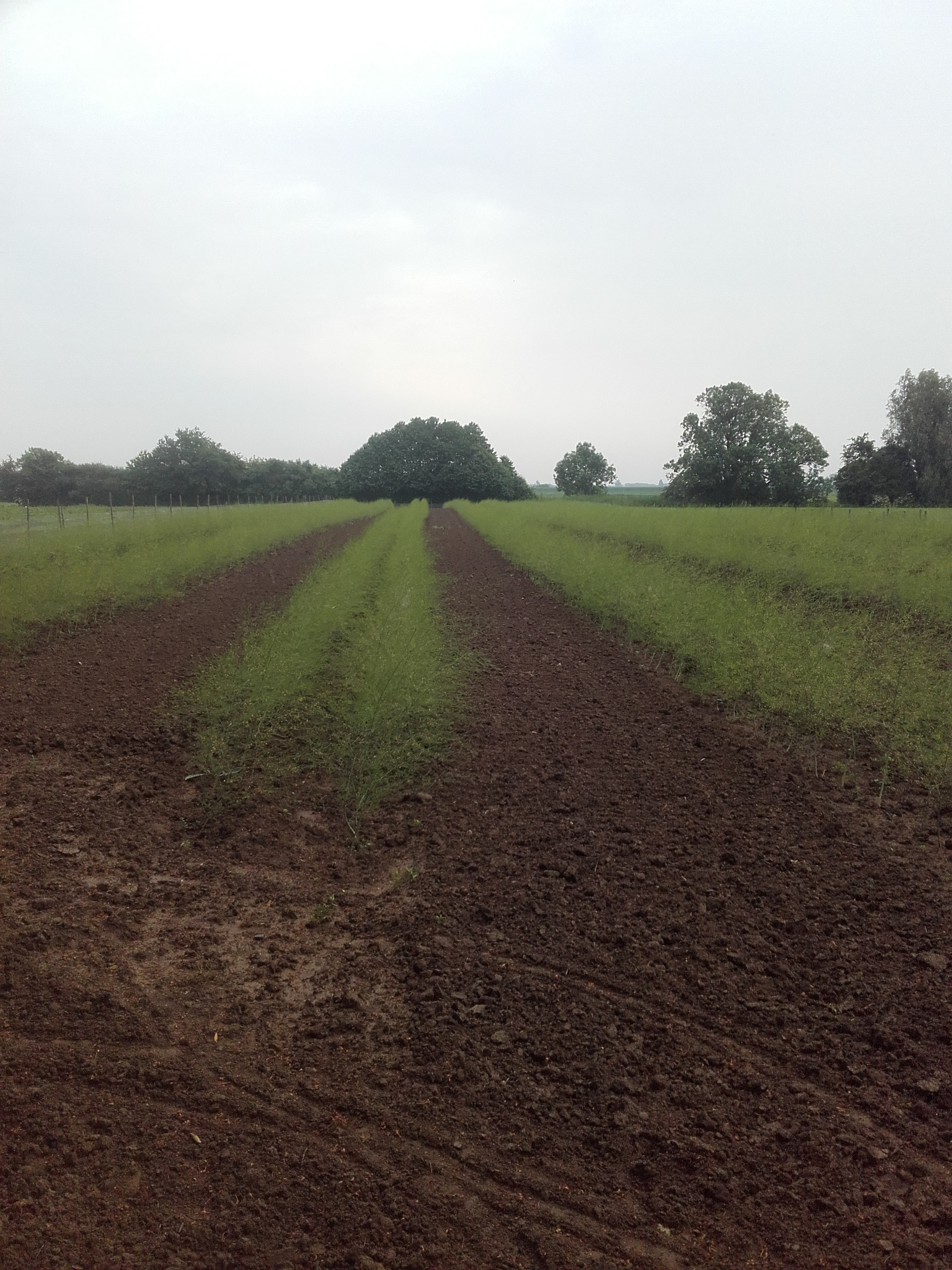 groene asperges aanplant