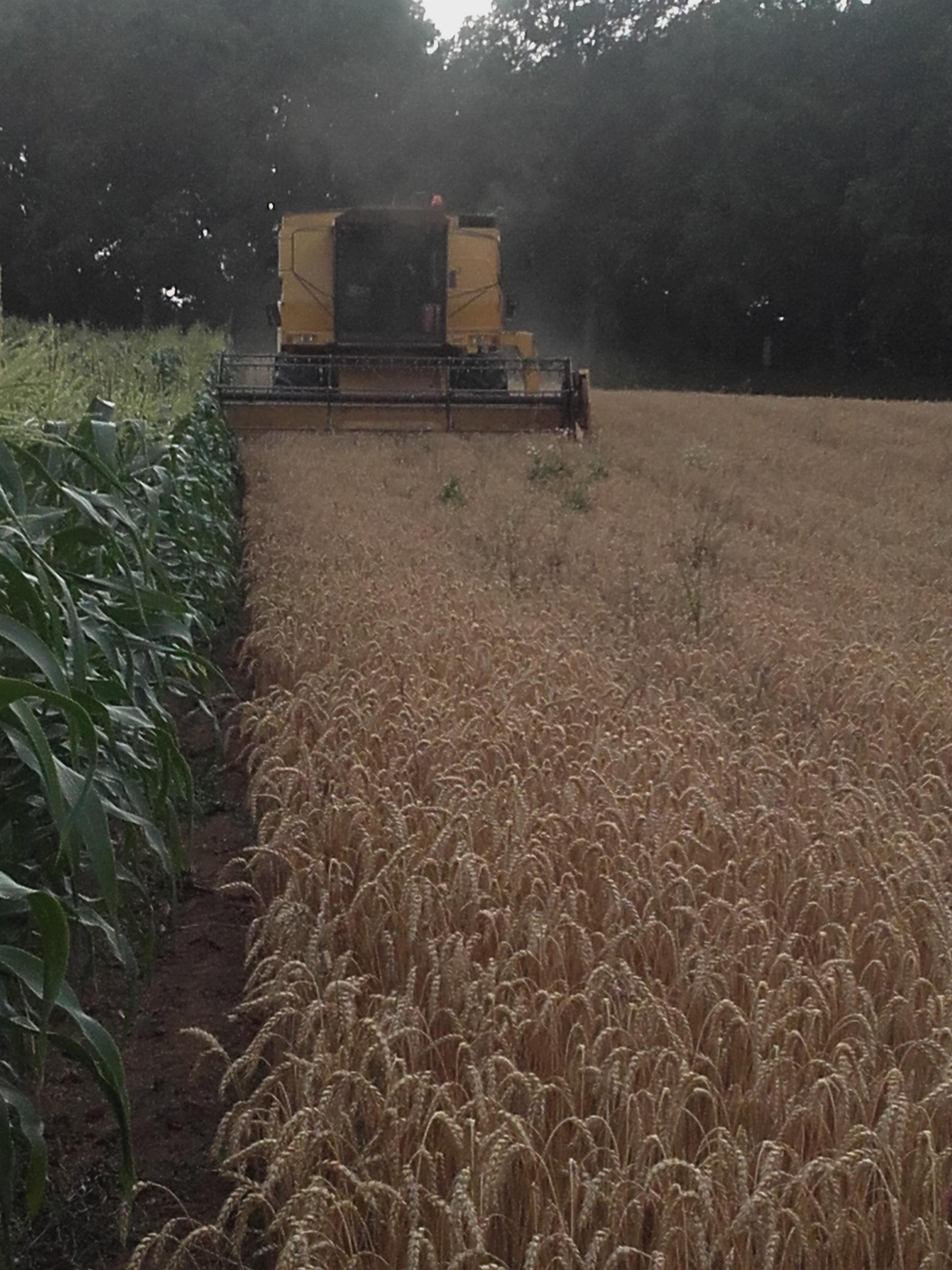 tarwe oogsten