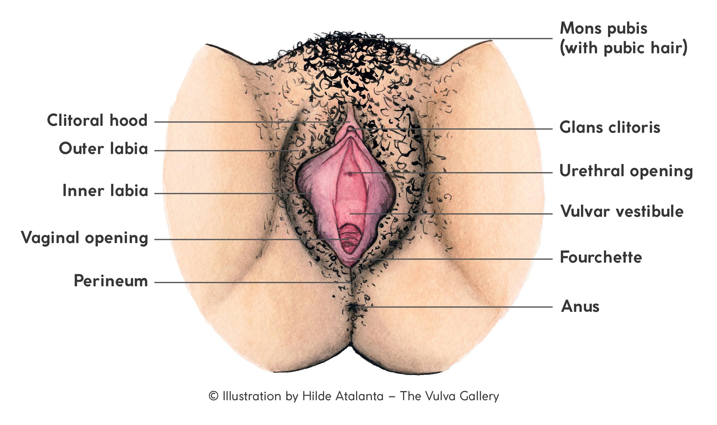 Die Vulva Set Zur Anatomischen Bildung Deutsche