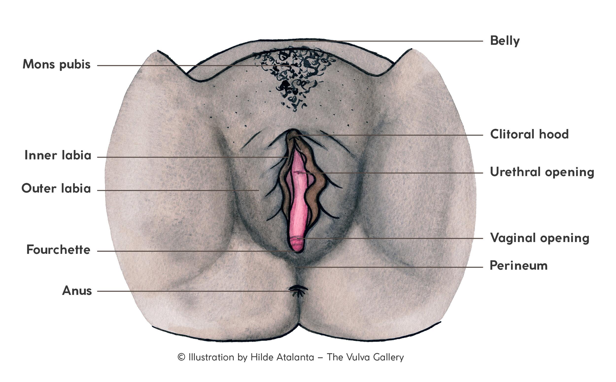 The vulva and vagina