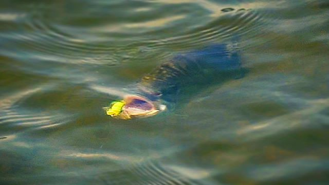 Open up. | #freshcoastangling #smallieseason | . . . . #smalliesonthefly #smallmouth #flyfishing #topwater #sageflyfish #rioproducts