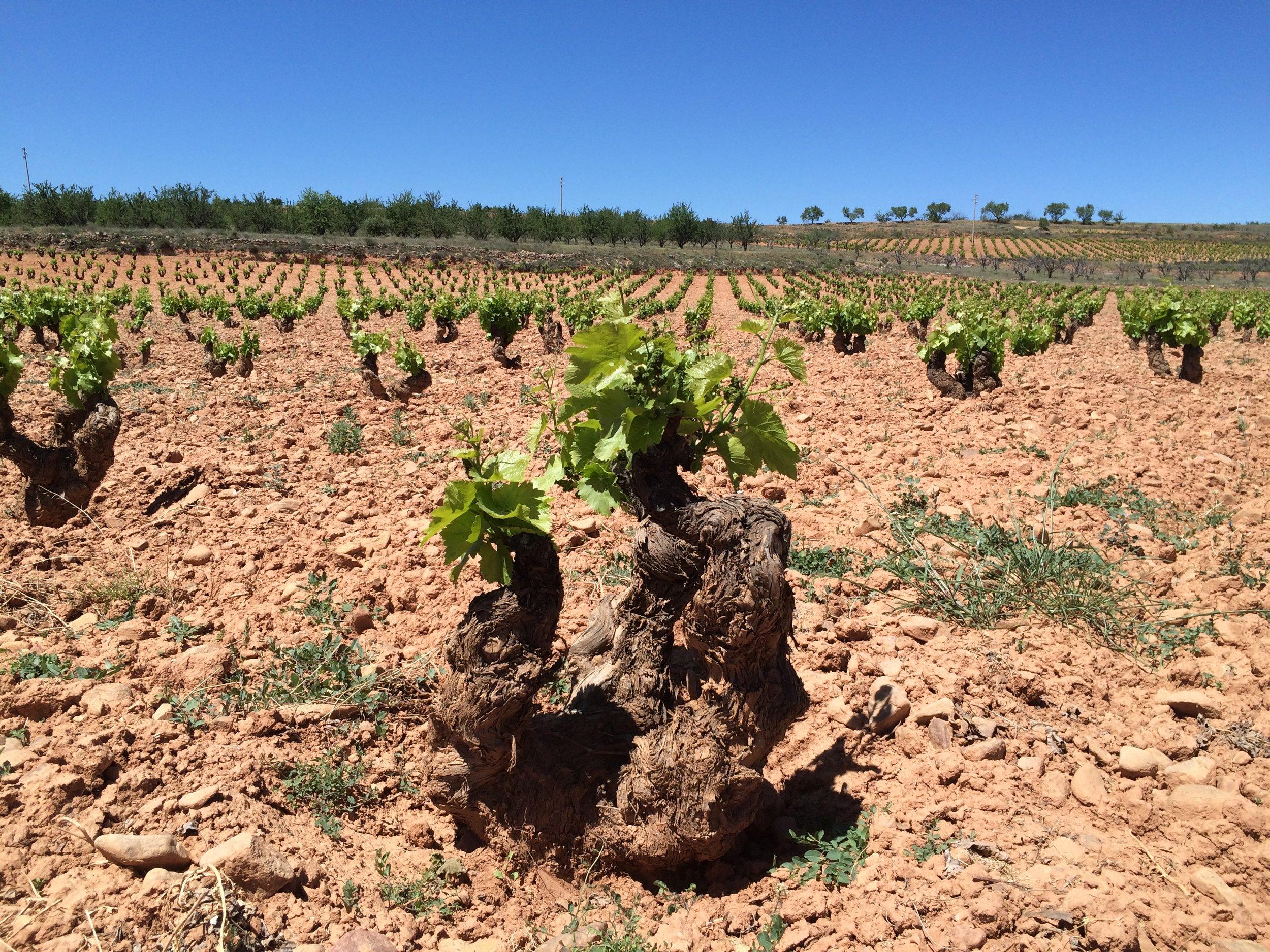 Old vines Garnacha