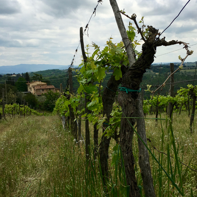 Organic Sangiovese Vineyard