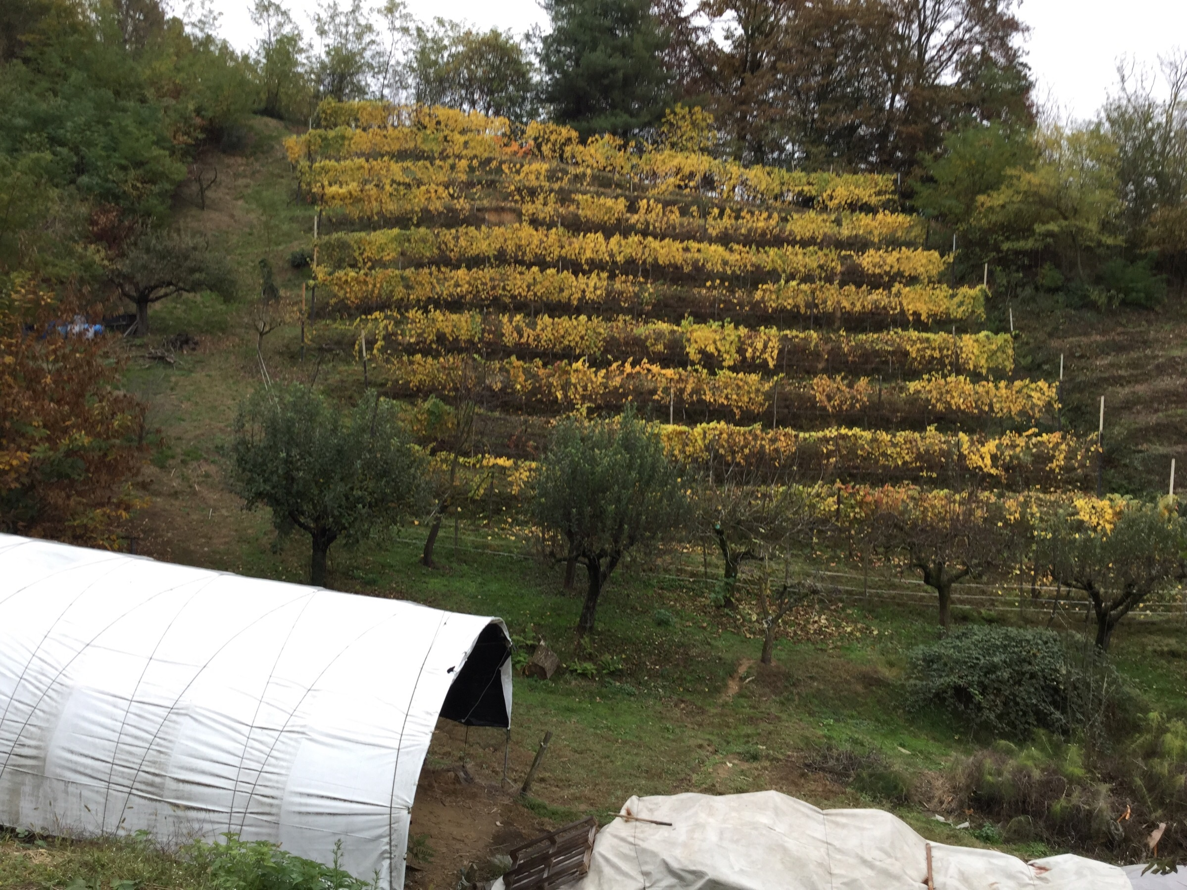Zambolin Vineyard