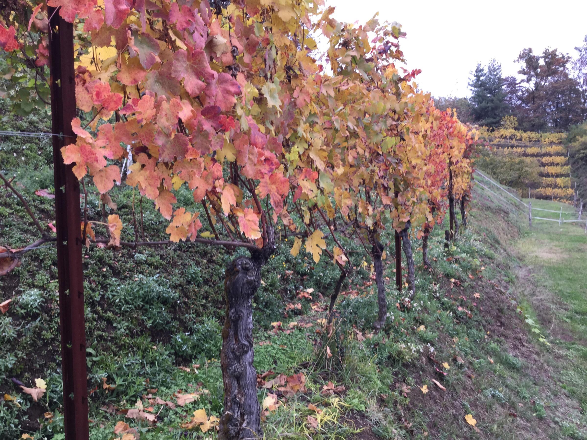 Vineyard in Valdengo