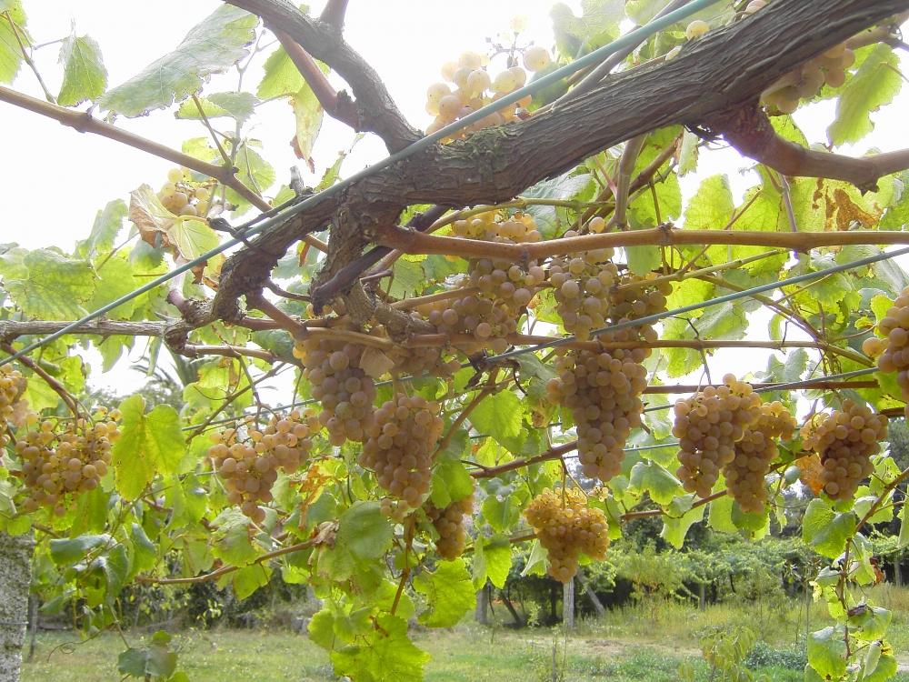 Albarino Grape Bunches
