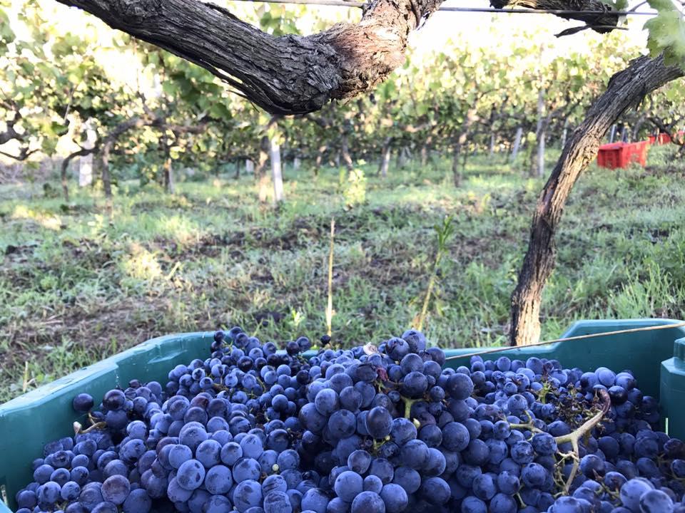 Il Vinco Harvest2.jpg