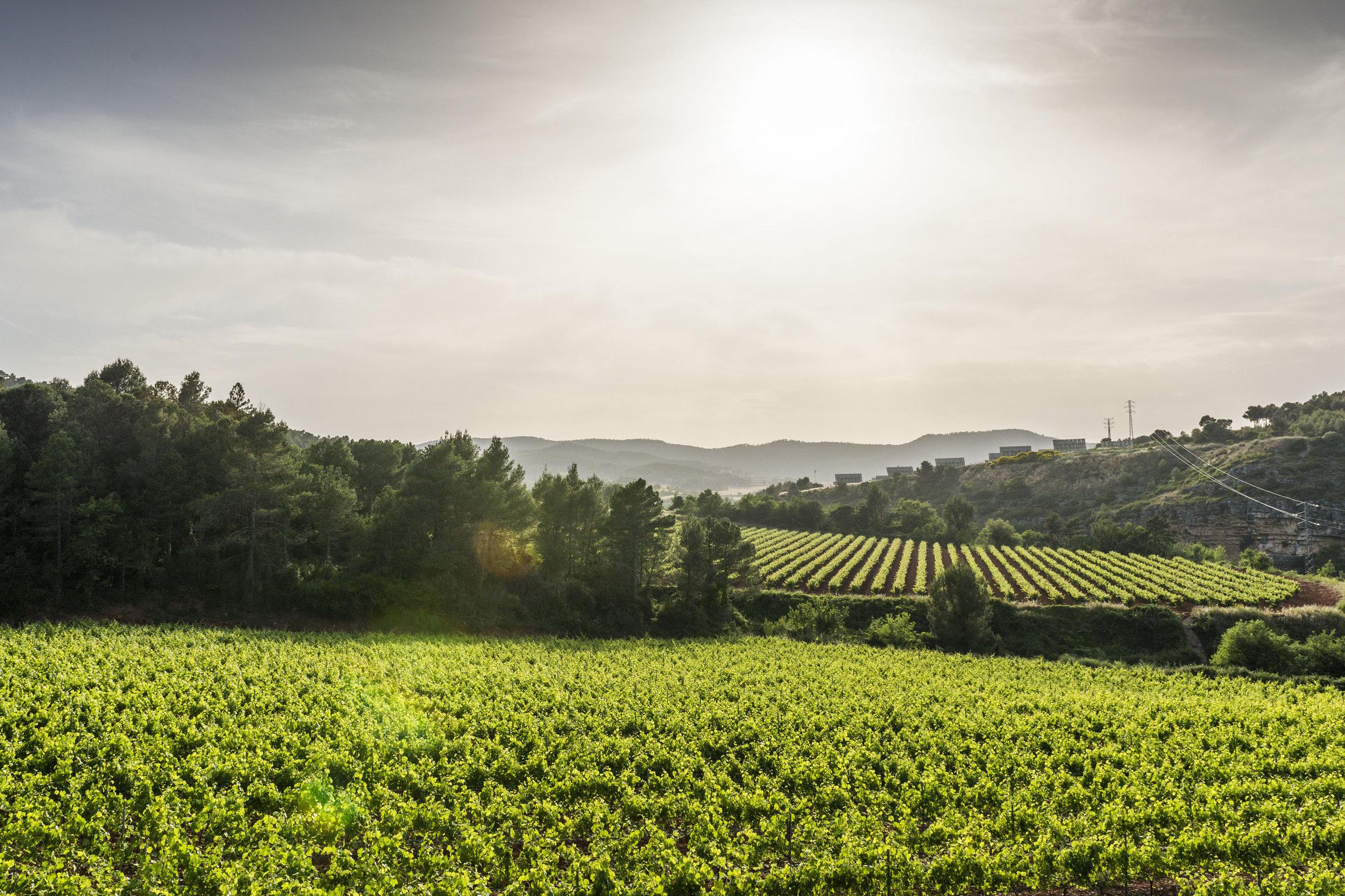 Estate Vineyards in the Penedes