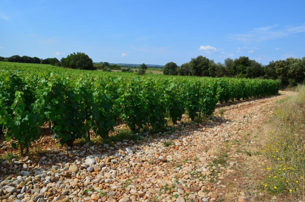 Montcalmes Vineyard - 5 (1).jpg