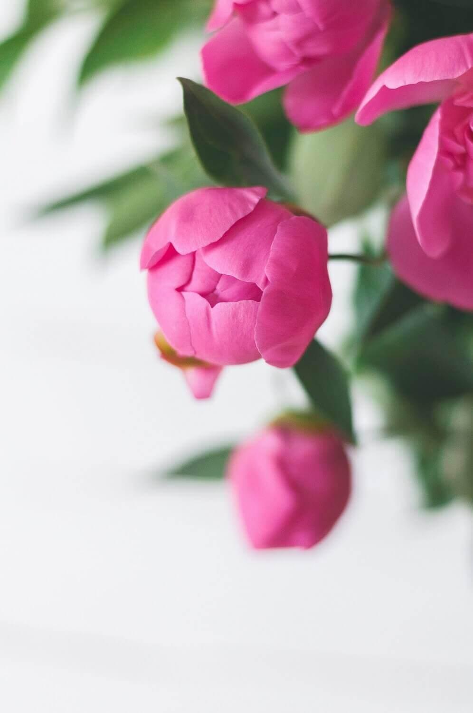 pink-bud-olia-gozha.jpg