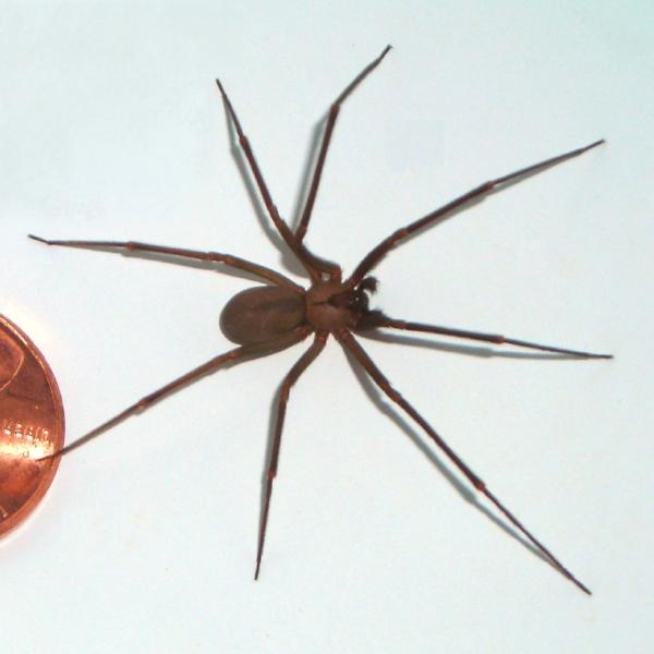 Brown-recluse-coin-edit.jpg