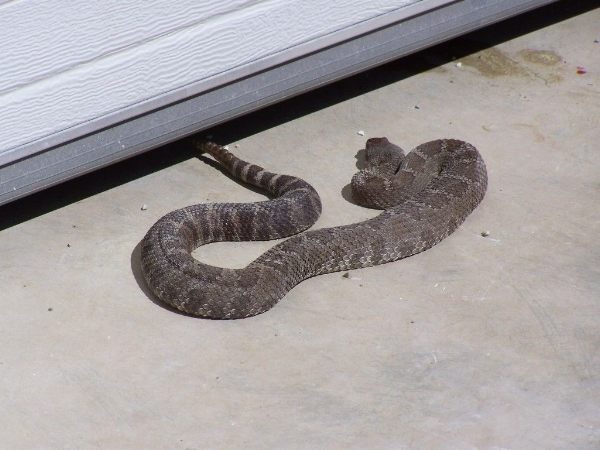 As far as visitors go, this one is a doozy. Rattlesnakes are venomous and should be avoided.