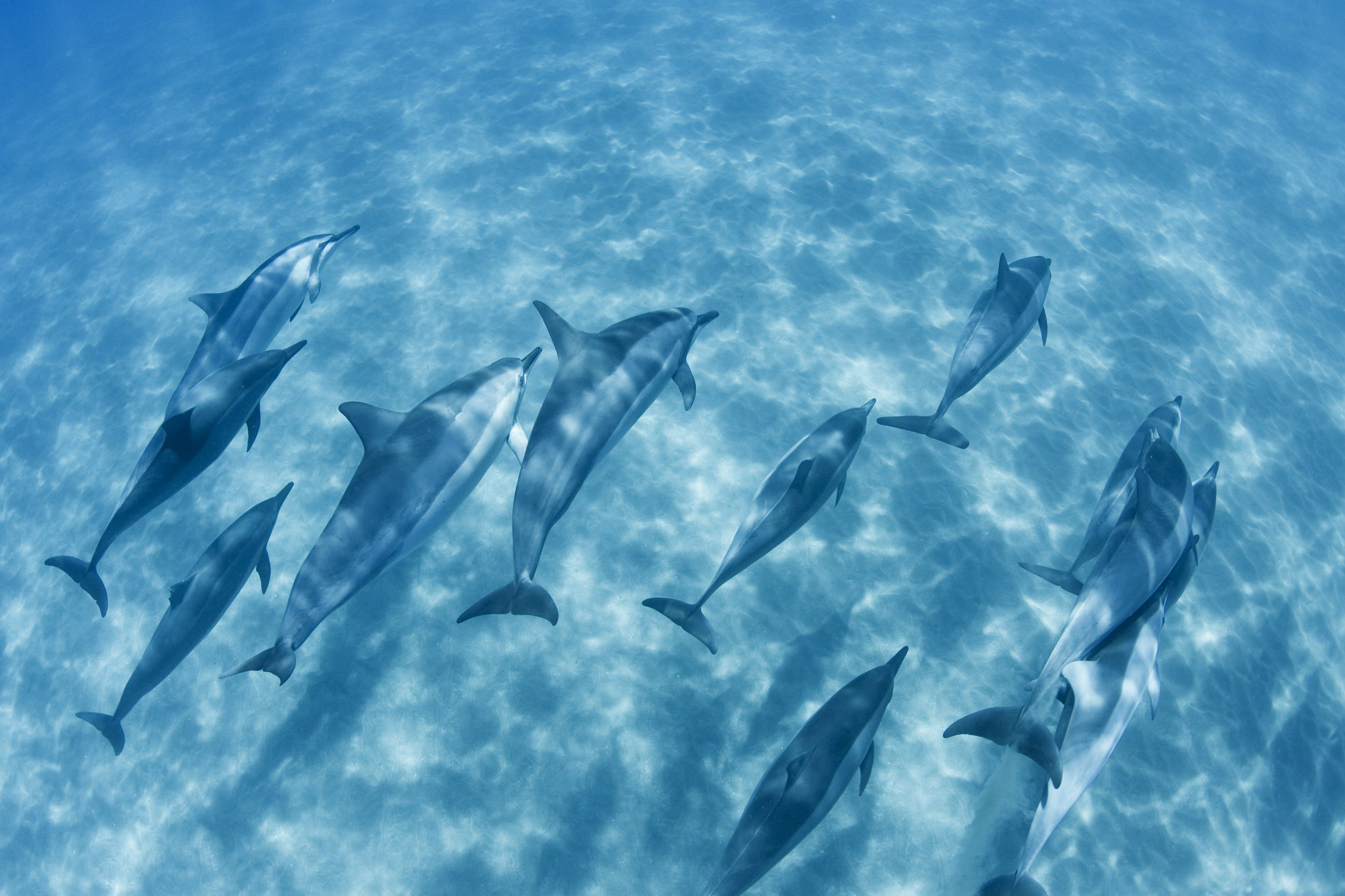 dolphins-swimming-ocean-tour-with-local-maui-tours