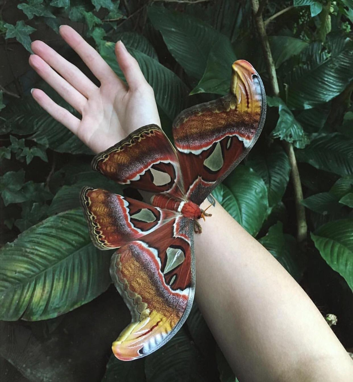 ATLAS MOTH PERCHED ON AN ADULT SIZE ARM!