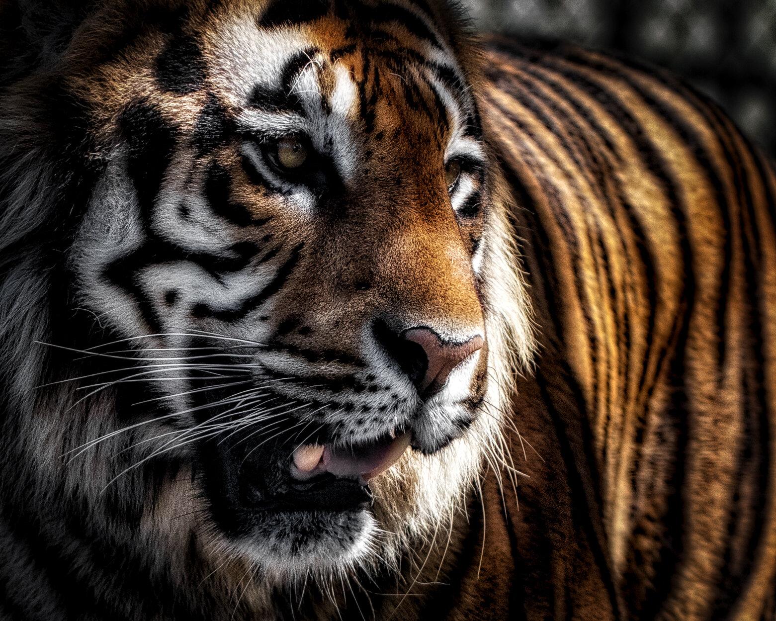 Tiger's Awareness.jpg