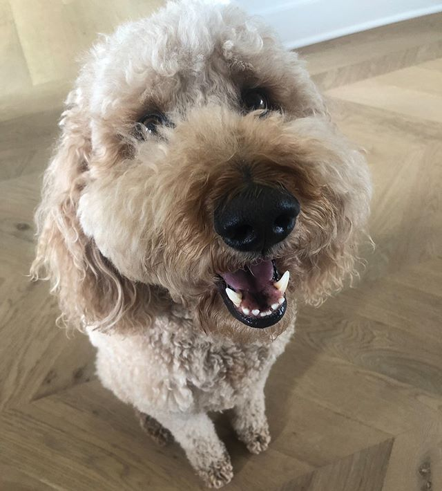 Extra big smiles today! Not only is it #nationaldogday but it's his birthday week! #goldendoodle #doodlesofinstagram #kansascitygoldendoodle #kauffmanahlvers #kauffman