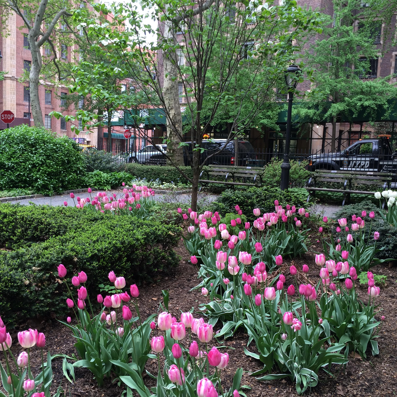 North Park Tulips