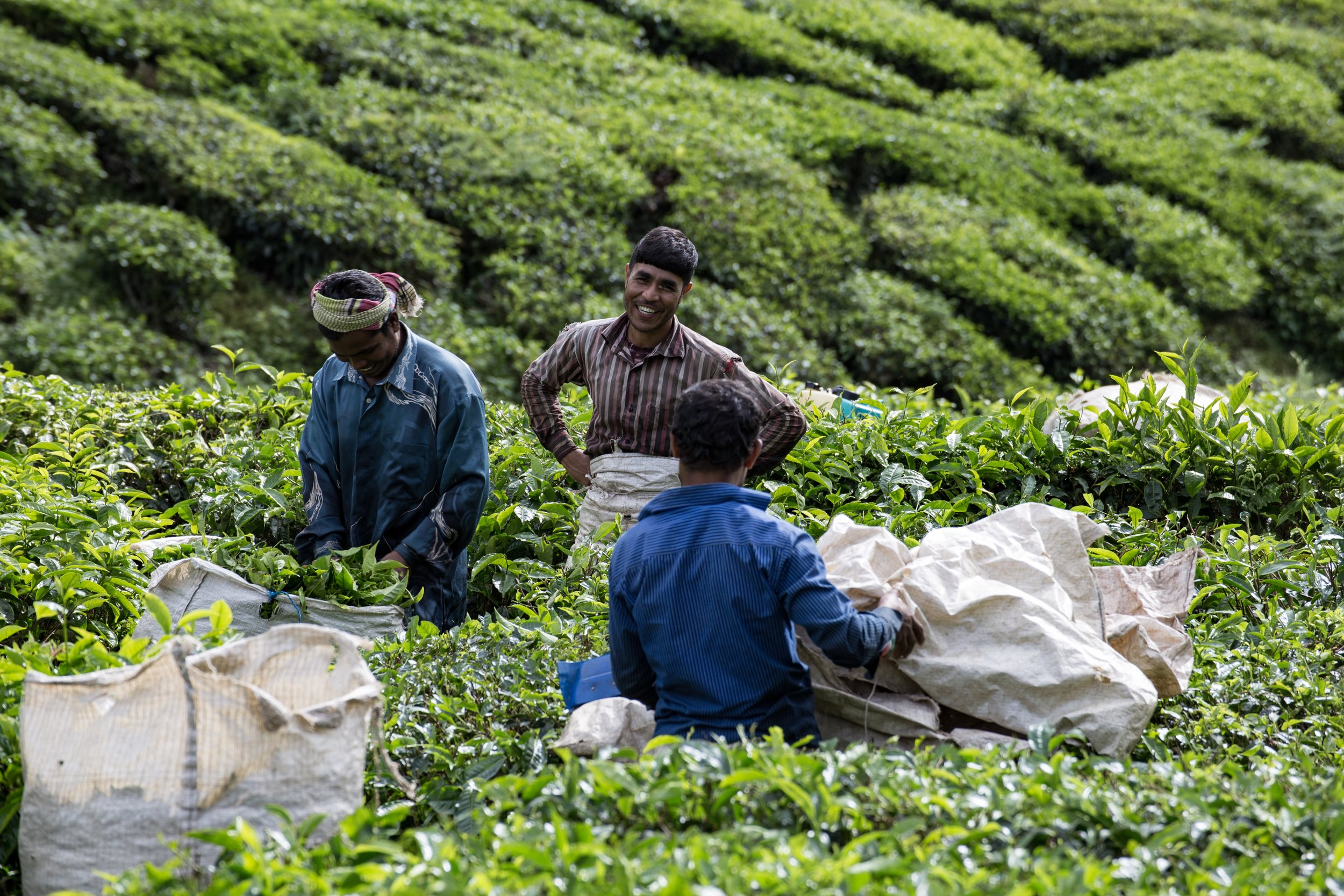 Tea Pickers at BOH Plantation,Cameron Highlands -December 2017