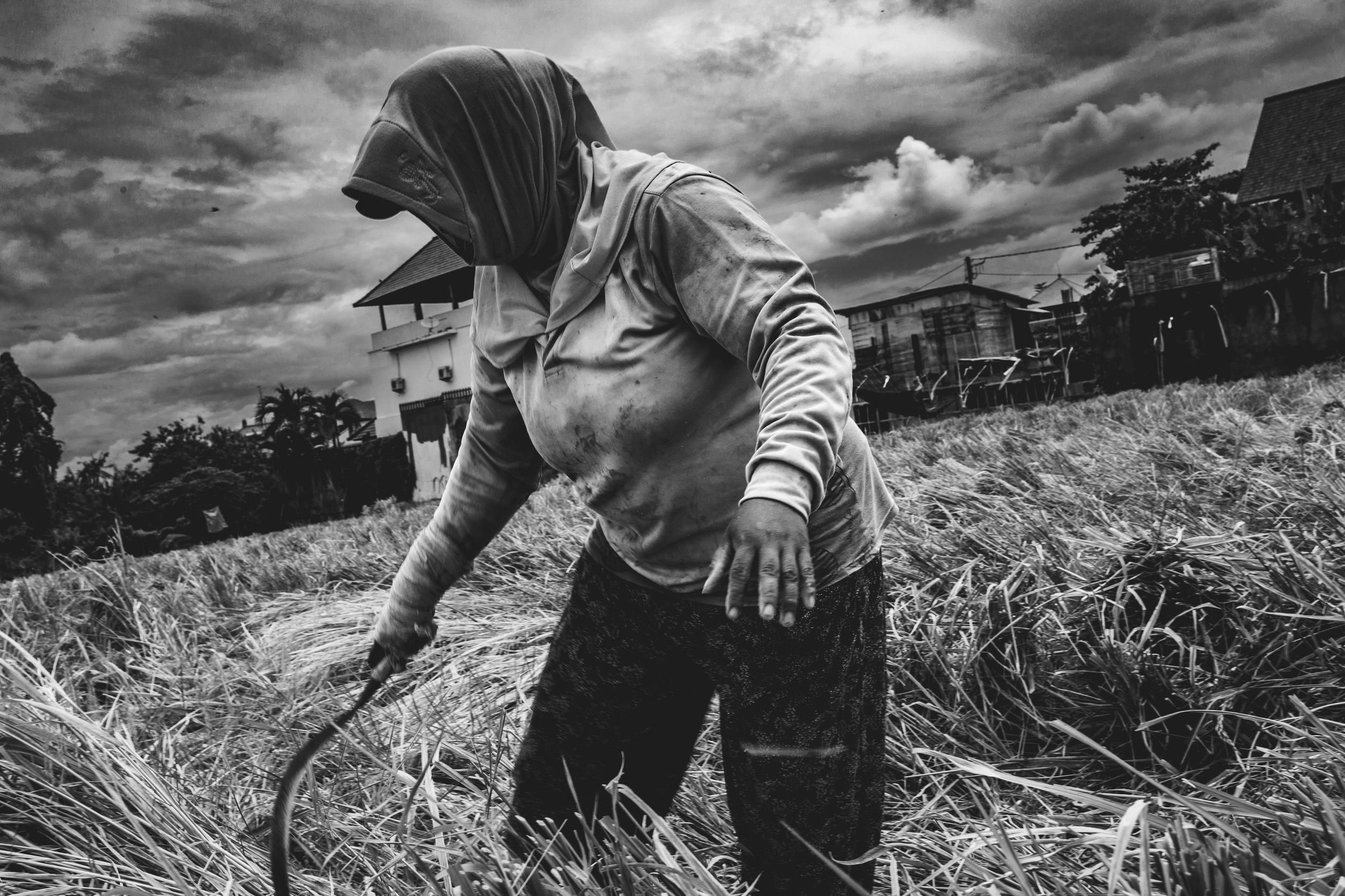 Rice farmer Canggu - January 2018