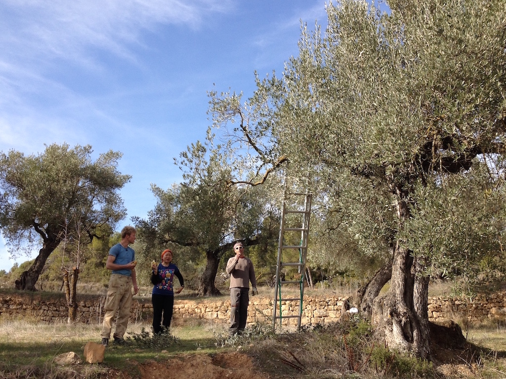 "Ciaran and Yuan Ni are taking a break - our local friend JP is teaching them how to prune olive trees the ""old"" way"
