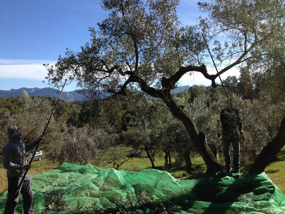 It took three men about two days to harvest olives from 45 trees by hand - hitting the branches with sticks, to make them fall into the nets.