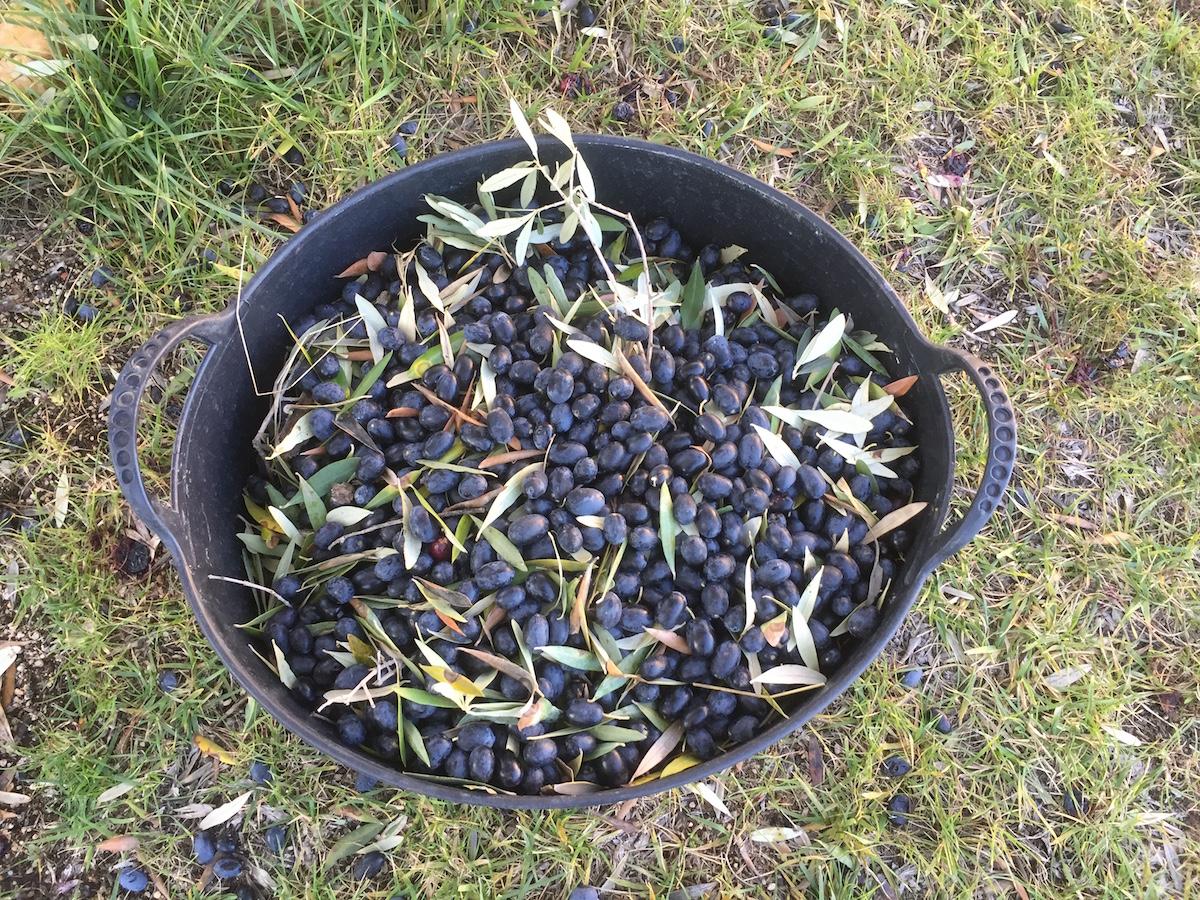 Harvesting olives for olive oil & eating | Simple Living in Spain