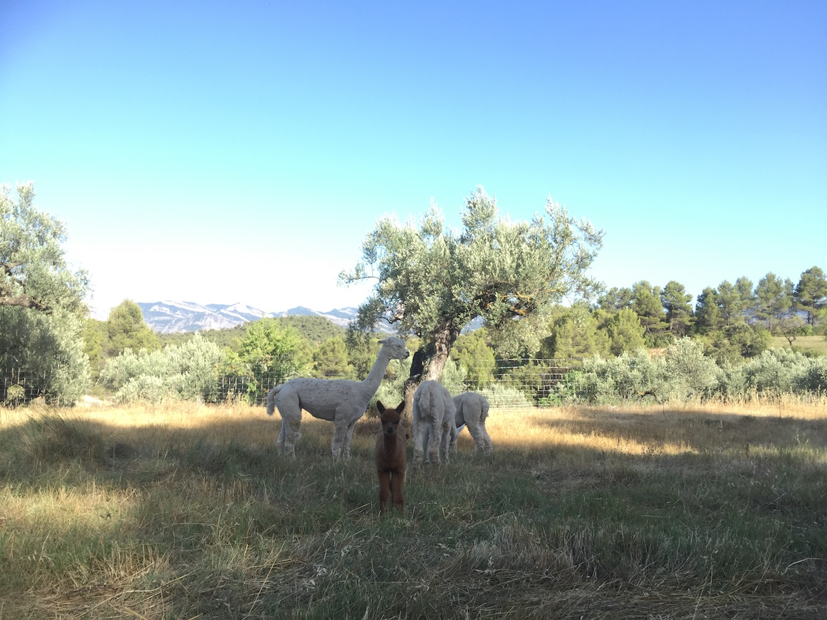 Why alpacas are the perfect animals for our farm | Simple Living in Spain