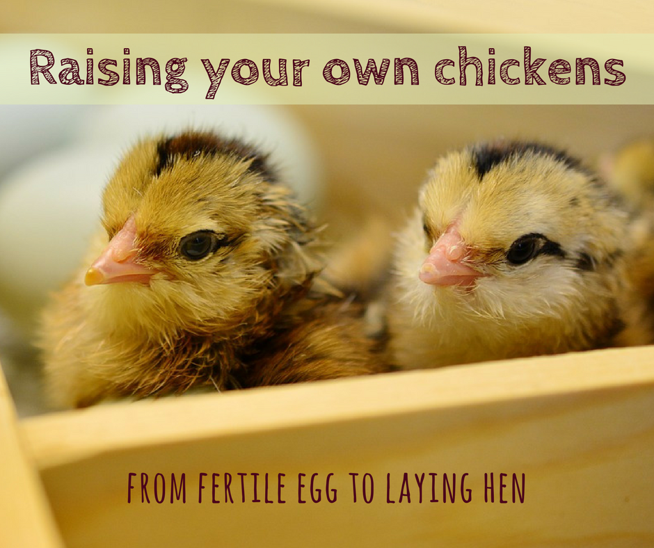 Hatching chicks and raising chickens - at Sunny Simple Off-Grid Living
