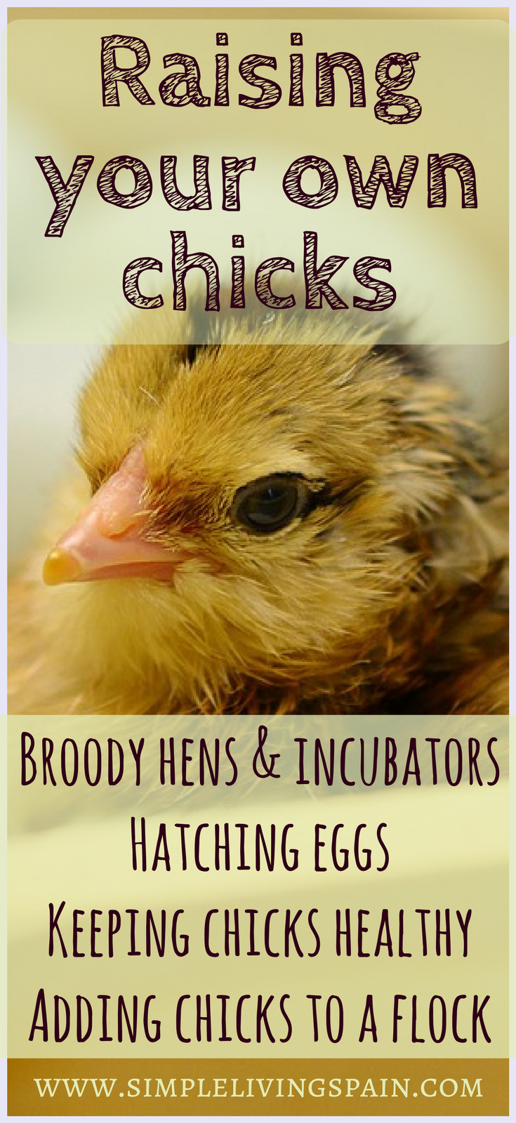 Raising chickens - hatching eggs - broody hens - and more @ Sunny Simple Off-Grid Living