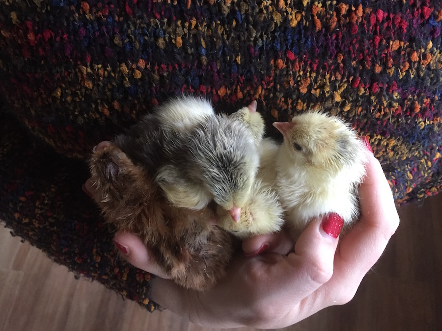 One day old Brahma chicks  @ Sunny Simple Off-Grid Living