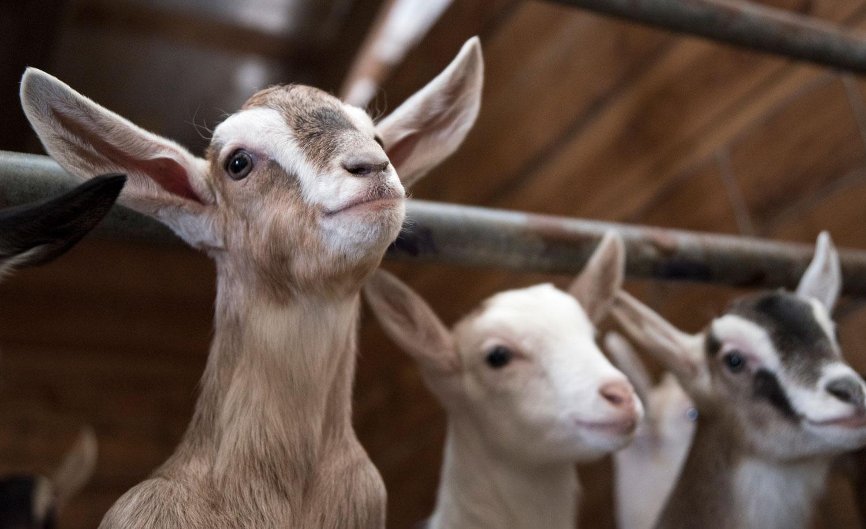 2-Kids-Goat-Farm-About-3.jpg