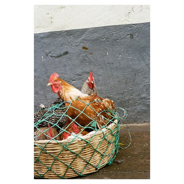 The chickens of Chichi.