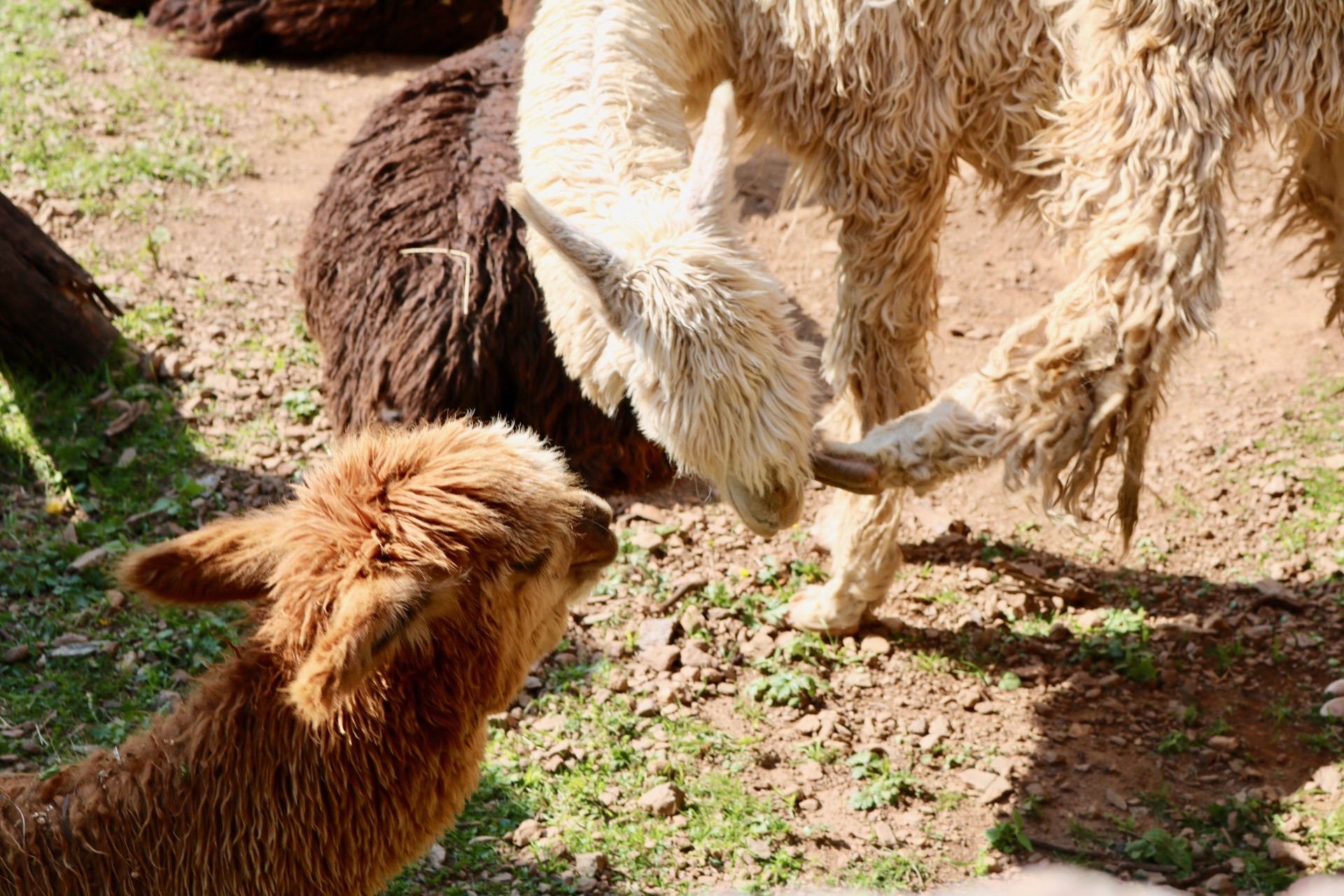Another of their incredible talents: The ability to scratch their face with their back hooves. It'd be like if I could soothe an itch on my face with my foot. Simply amazing.