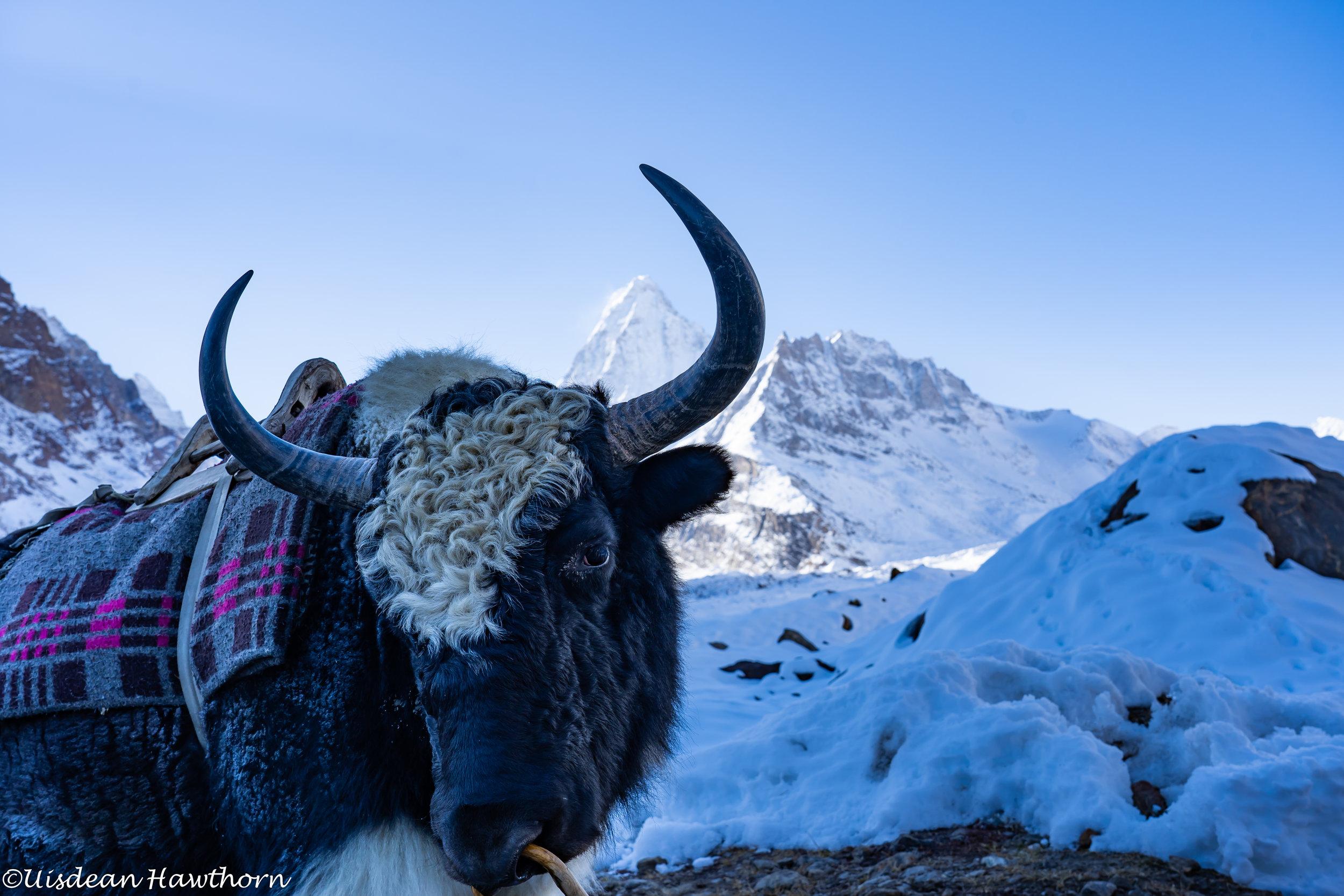 Yak yak yak! And Hagshu in the background. Photo: Uisdean Hawthorn