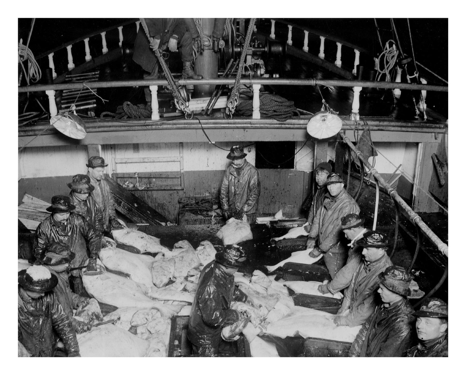 Crew cleaning halibut.