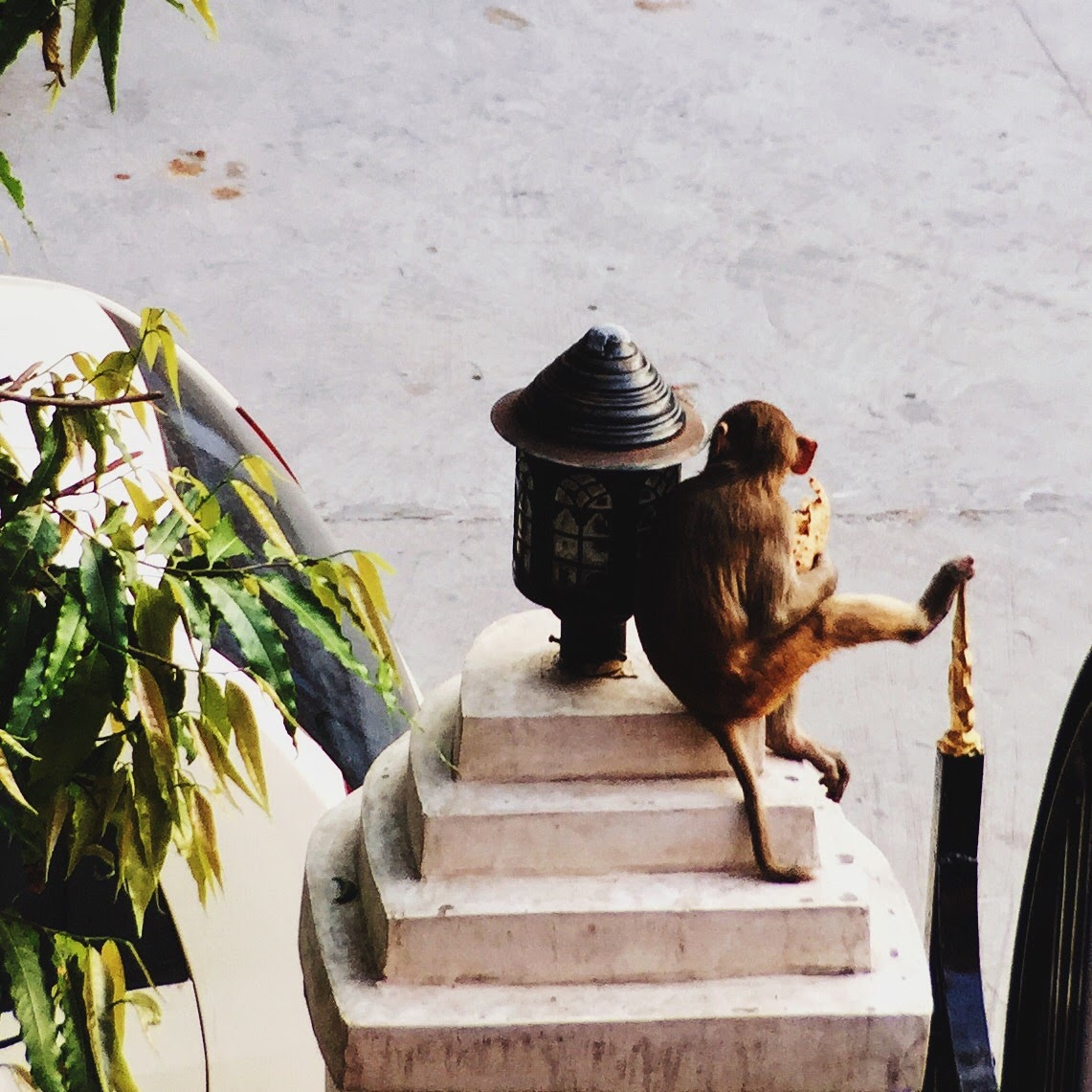 The McHowe World Tour - Part II- Jaipur the Pink City - monkey eating chipati