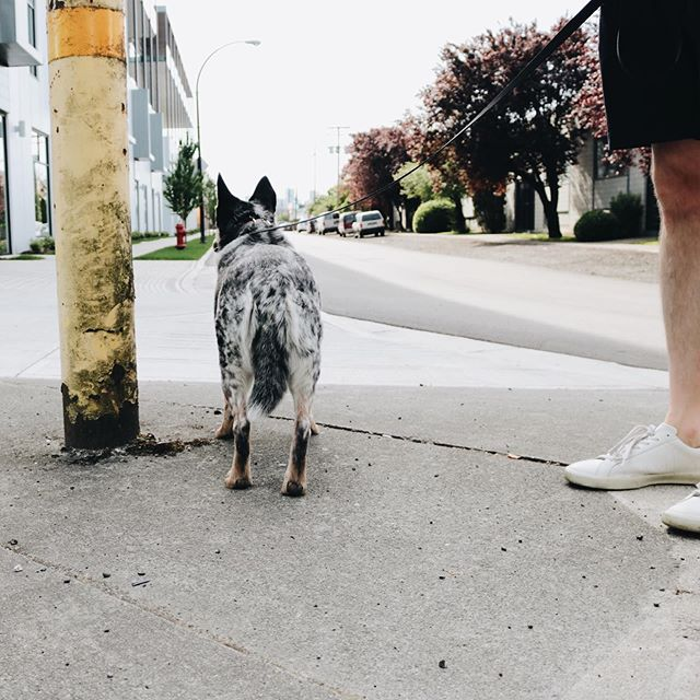 Mckee speed walking: at a standstill. . . . . . . . . . #darlingmovement #blueheeler #heelergram #streetviews #vancitybuzz #dailyhivevan #vancouver #vanmagram #vscofilter