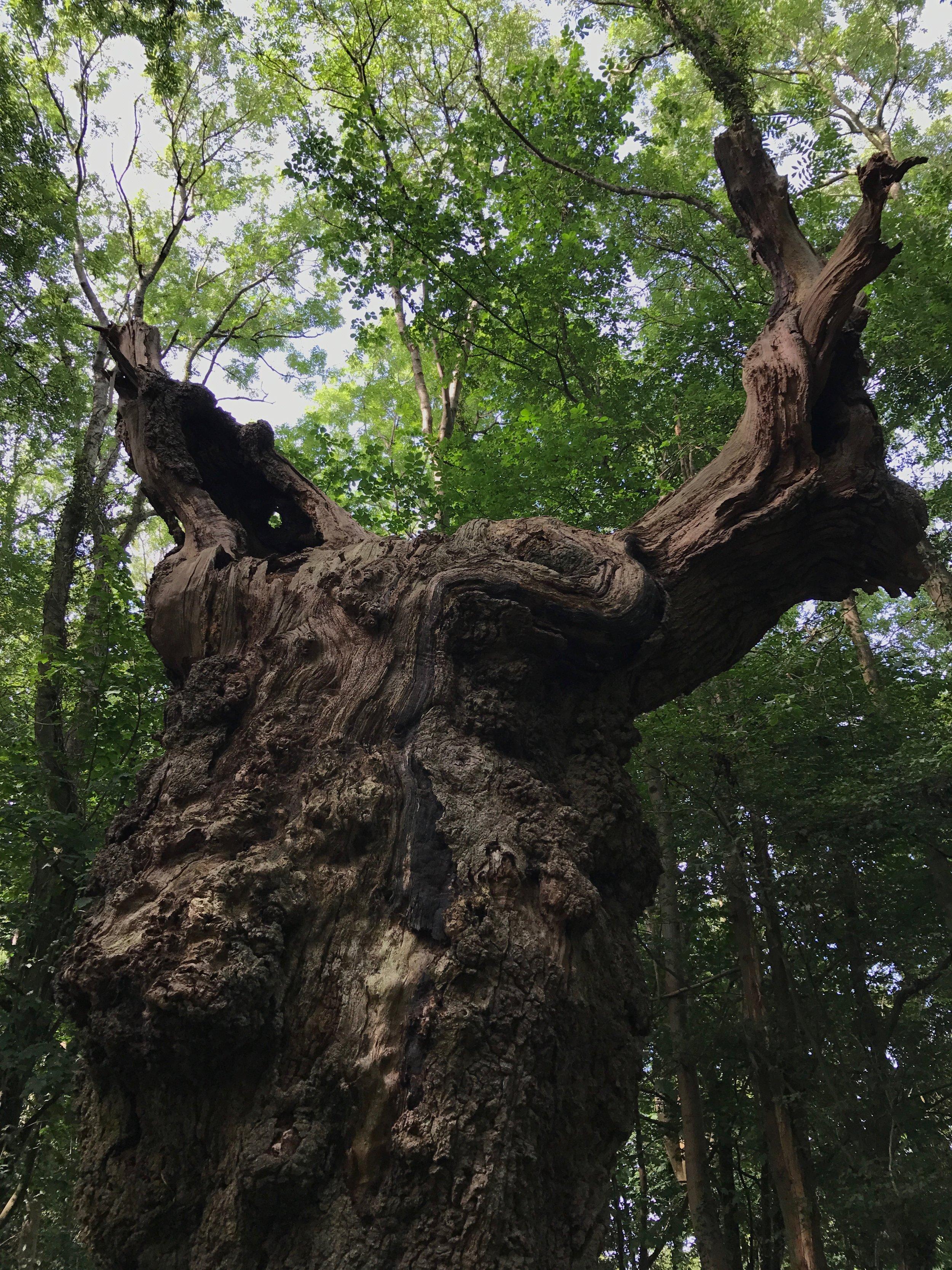 Our Oak