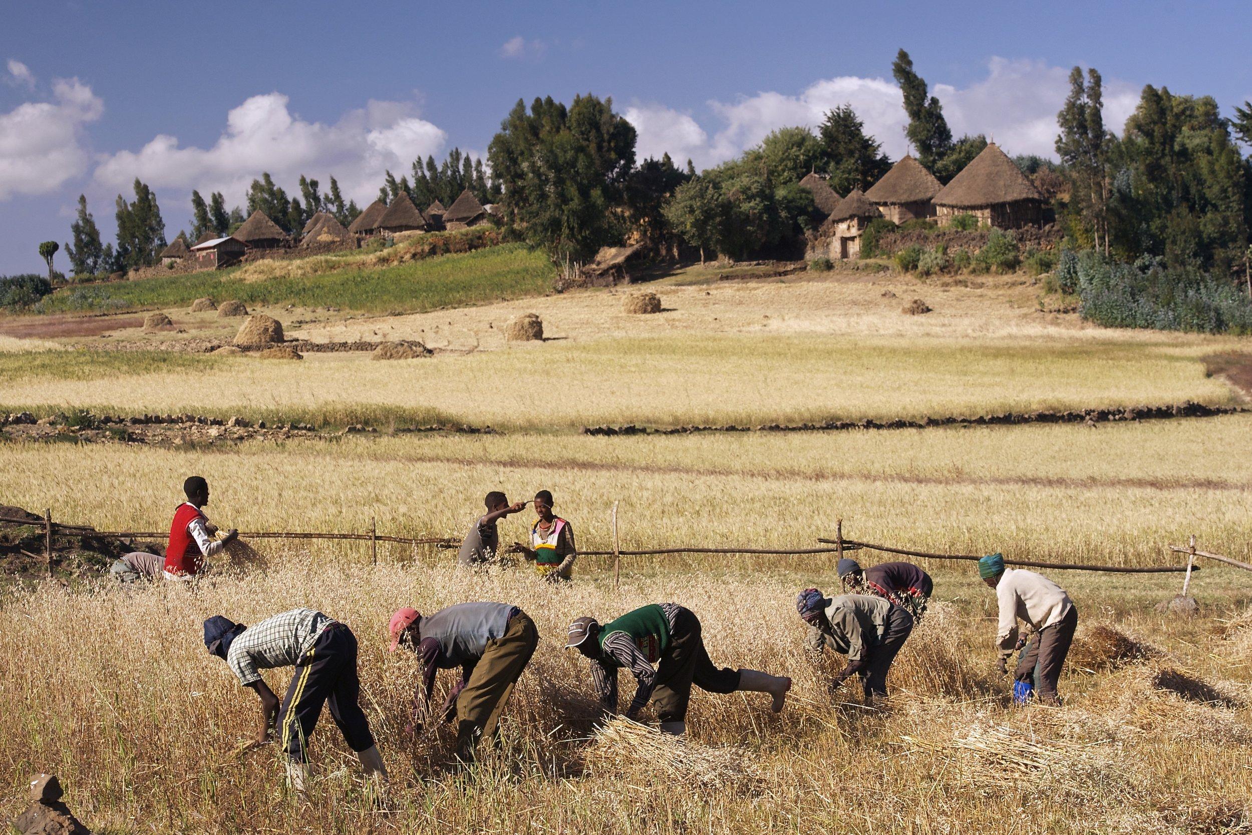 HARVEST IN ETHIOPIA