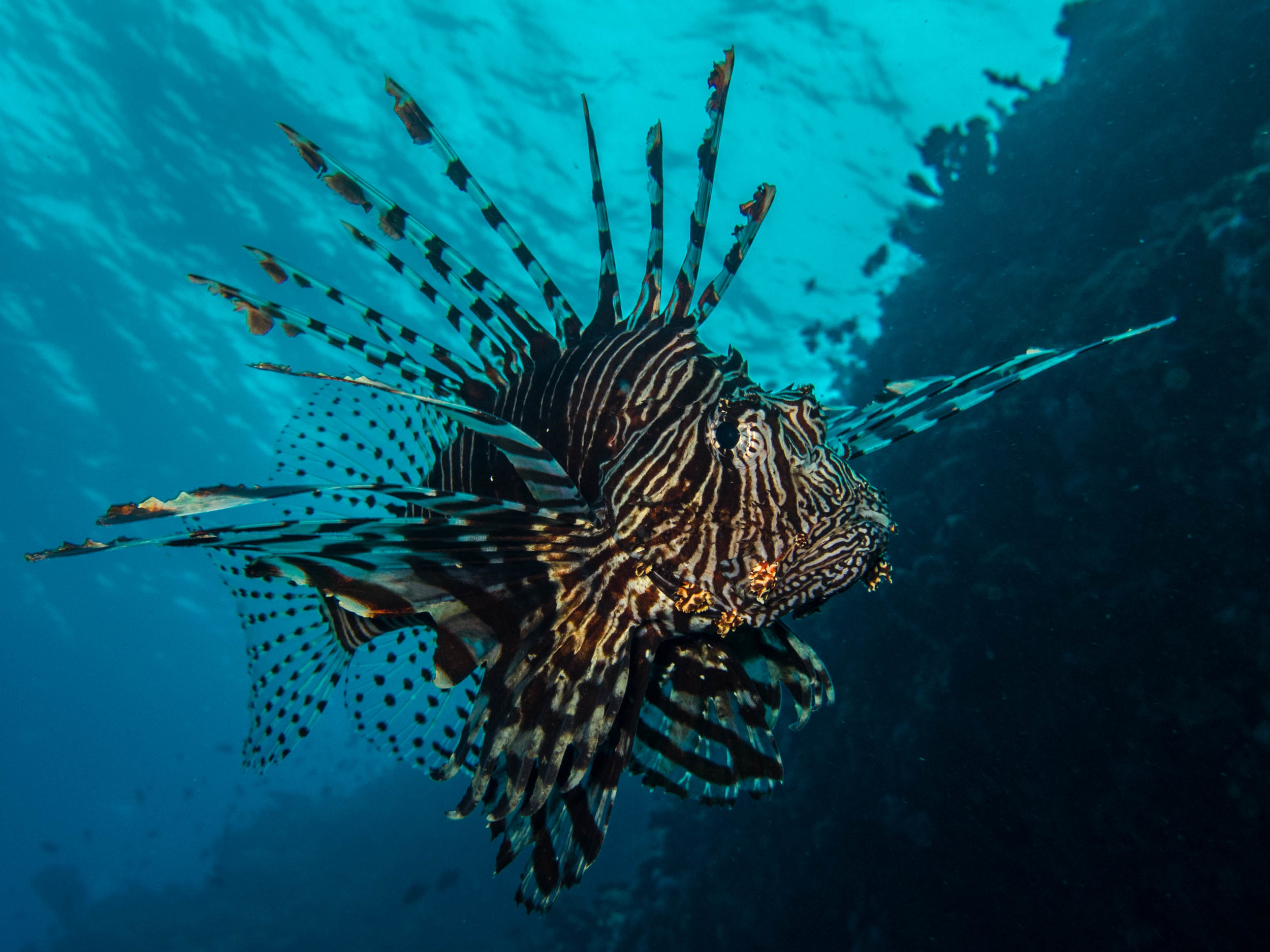A large common lionfish, native to the Indo-Pacific cruises the reef wall. Humans have transformed one of the most beautiful fish in the Pacific Ocean to one of the Atlantic's worst epidemics.