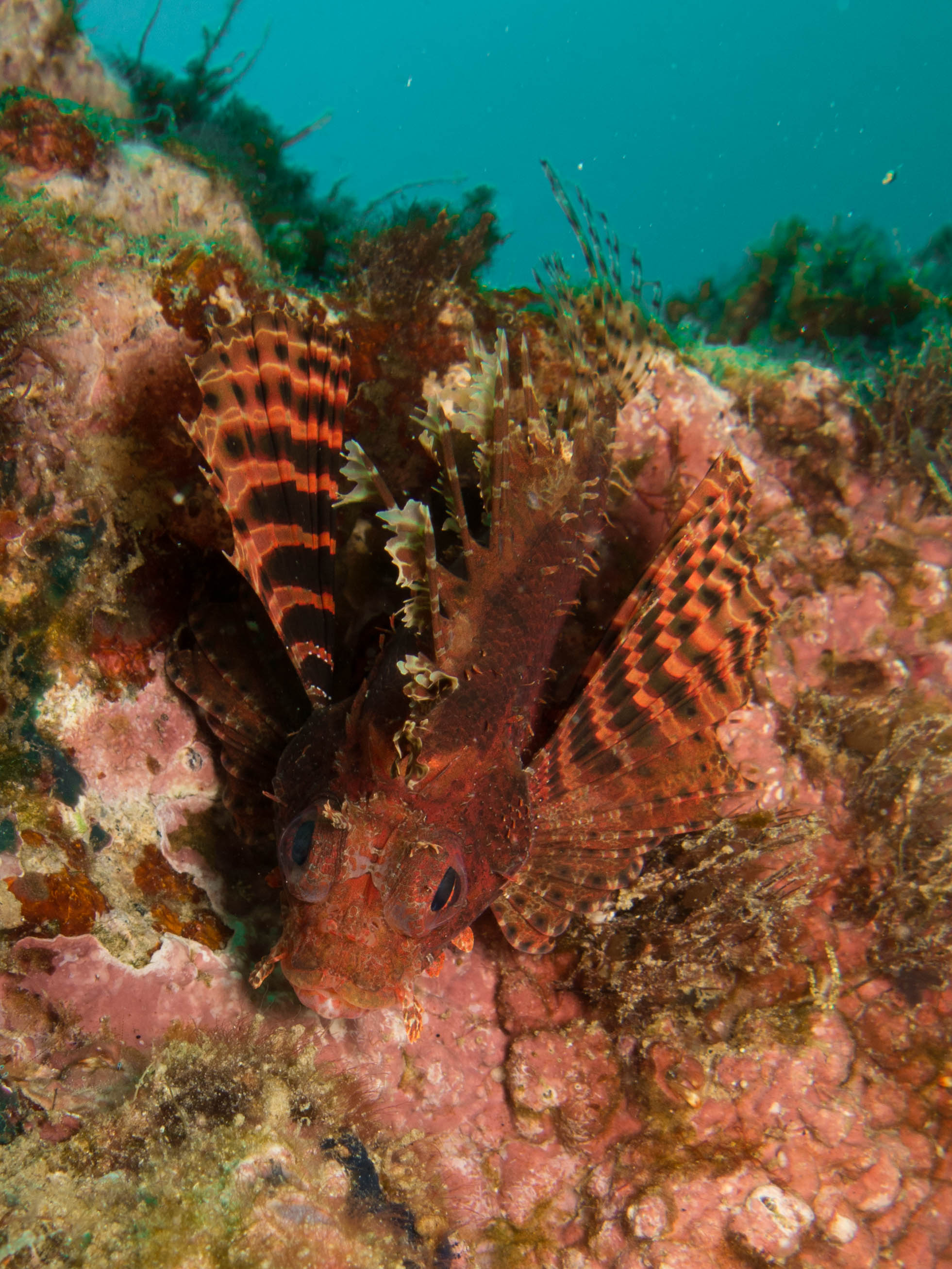 A shortfin lionfish flaunts its beautiful fins on a reef in Indonesia. There are 12 extant species of lionfish, 2 of which have been introduced to the Atlantic.