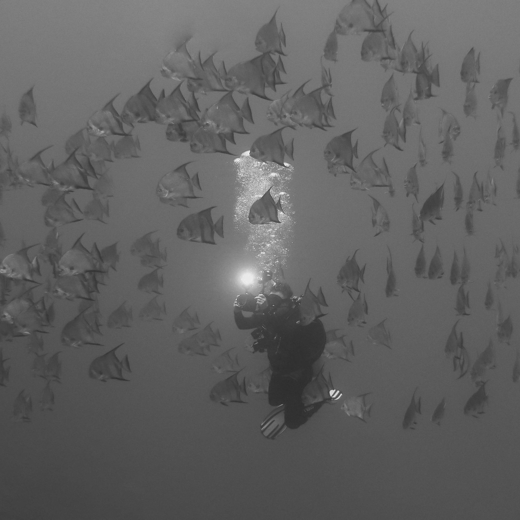 A diver hovers neutrally buoyant amongst a school of spadefish while taking a picture. Specialty courses helped to this diver proficient in a number of skills.