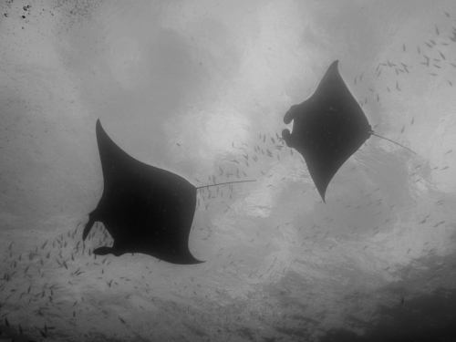 Two manta rays fly in formation over a manta cleaning station, a common site in Indonesian waters.