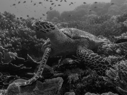 This hawksbill turtle rests carelessly on the fragile hardcorals found in the Coral Triangle.
