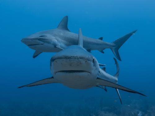 Two Caribbean grey reef sharks patrol the Cara a Cara dive site at Roatan's premiere shark dive.