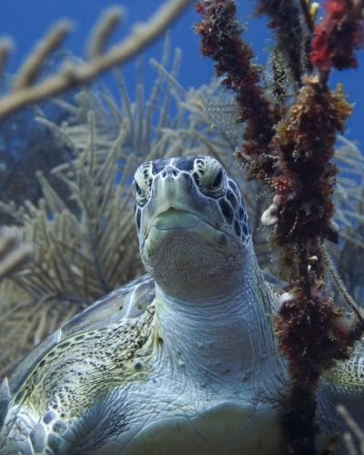 A green sea turtle rests amongst the plentiful soft corals on a reef in Roatan, Honduras.