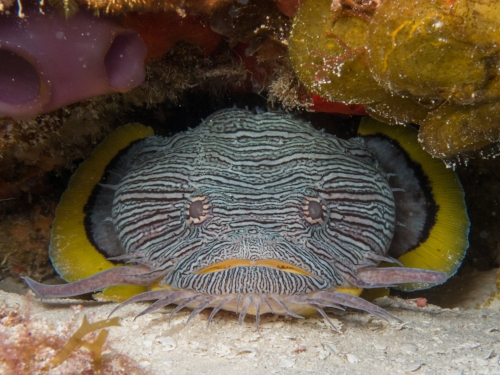 Cozumel offers beautiful Caribbean conditions, and a vast array of marine life like this splendid toadfish, endemic to the island.
